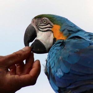 Oiseaux Elevés à la Main